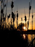Cattails at Sunset by tracy-Me