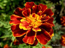 Tagetes 043 by Halla51