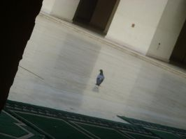 Dove in the mosque by abd-ELRAHMAN