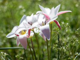 2015-03-21 #2 A.K.A. -- Wild Tulip by justanewb42