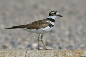 Killdeer by mydigitalmind