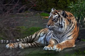 Sumatran Tiger 1623 by robbobert