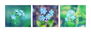 Forget_me_not_panoramamix by snarto