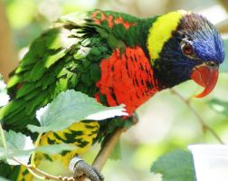 Lovely Lorikeet by Canlyn88