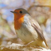 Fluffy robin by Jorapache