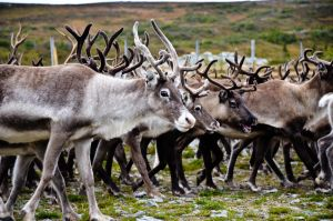 Reindeers by Angband