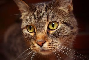 a cat's face by hermik