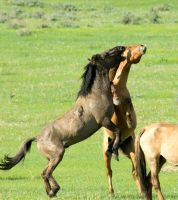 wild stallions fighting by pauleskew
