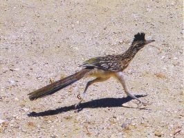 A Real Life Road Runner. by sailorcancer01