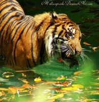 Tiger Bath by h3llzcupcake