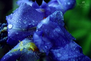 Drops on a flower by BrankicaSmiley
