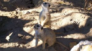 Meercats Again by JeanLuc761