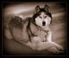 huskey in sepia by Tlauranoko
