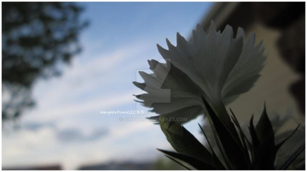 White Dianthus by sintar