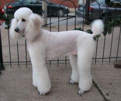 JAZ- WHITE STANDARD POODLE 2 by CRYSTALSPICS