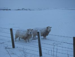 Sheep and Snow in Scotland by SheepSlave
