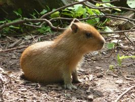 young capybara by Feridwyn