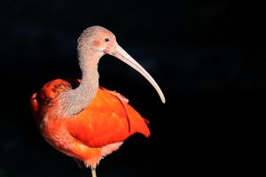 Flamand Rose by Geekylife
