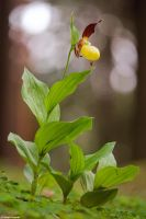 Cypripedium calceolus 2011 II by Aphantopus
