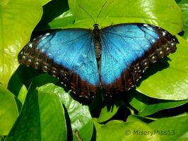 Big Blue Morpho 4 by Michies-Photographyy