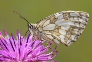 Marbled White by ELKAPL