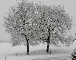 Twin Trees in Winter by artamusica