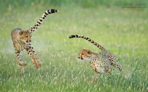 Chase of Cheetahs by MorkelErasmus
