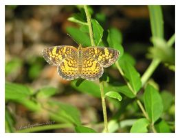 Pearl Crescent by Cillana