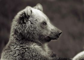 Bear portrait by mercorex