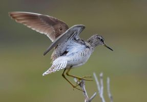 Wood Sandpiper III by nordfold