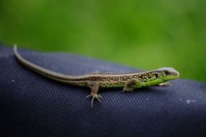 Lacerta agilis 3 by case15