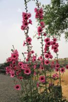 Pink flowers near the ruins by yasminstock