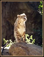 Snow Leopard Looking by RxPhoto