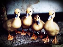 Duckys by PandaWicked