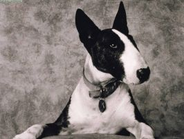 bull terrier by BadgeRizzle