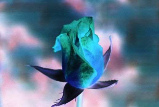 Julia's Rose - Inverted by SylverWytch