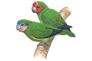 Fig-parrots by MiloOryx