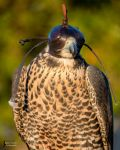 Peregrine Falcon by EdgedFeather