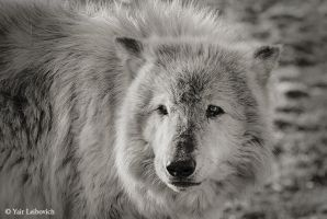 the gray 2 by Yair-Leibovich