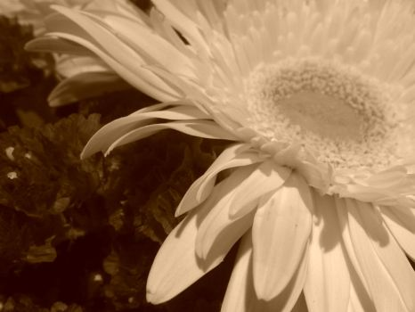 Sepia Flower by LadyRandom