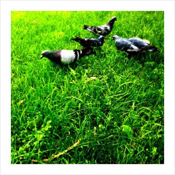 Pigeon Love by viewfinder