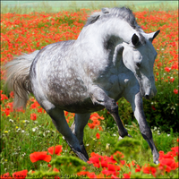 Grey In Poppies by TheHorseAddict