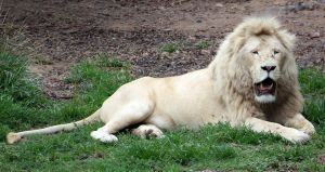 White Lion 05 by aussiegal7