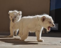 White lion cubs - stock by kridah-stock