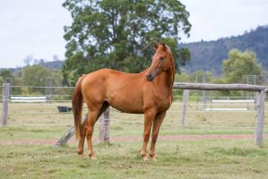 Dn Warmblood Chestnut standing side view by Chunga-Stock