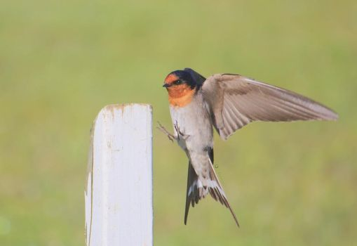 Welcome swallow flying by Eruanna17
