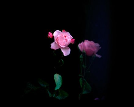 rose by 0wow0stock0xox0