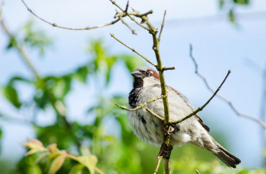 House sparrow 2 by Electrokopf