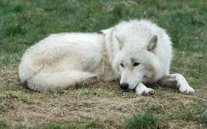 Arctic Wolf 20130401-4 by FurLined