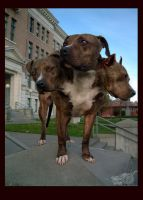 Pit Bull: Cerberus by dogs